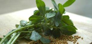 Tanaman Herbal Pembesar Payudara